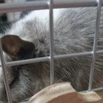 我が家で飼っている小動物ペットのデグー「ぴな」と「ぽぽ」を紹介します!